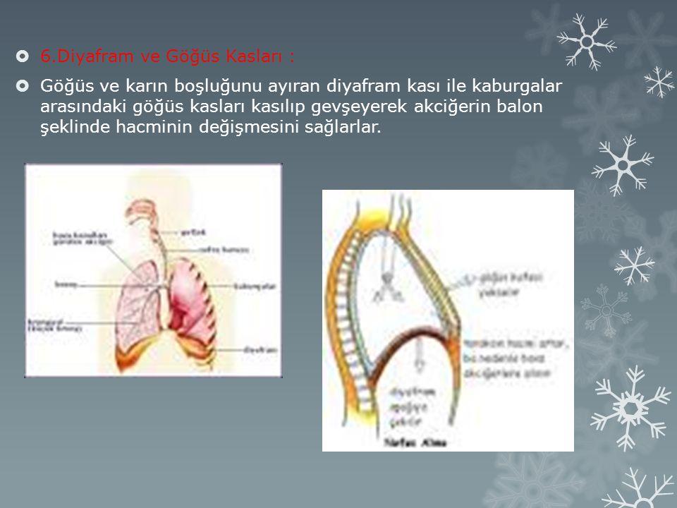 6.Diyafram ve Göğüs Kasları :