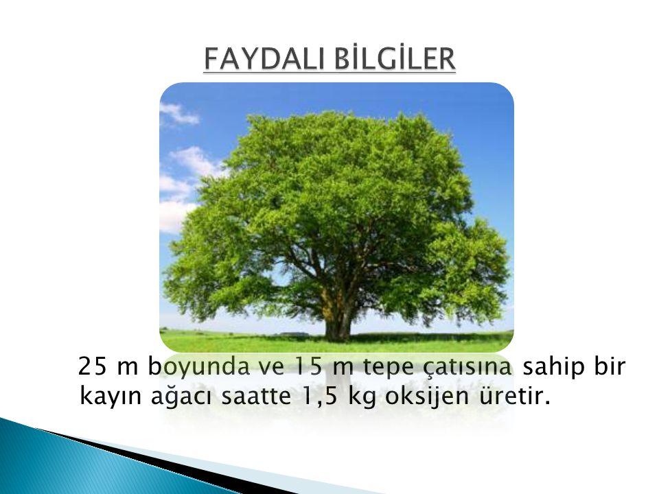 FAYDALI BİLGİLER 25 m boyunda ve 15 m tepe çatısına sahip bir kayın ağacı saatte 1,5 kg oksijen üretir.