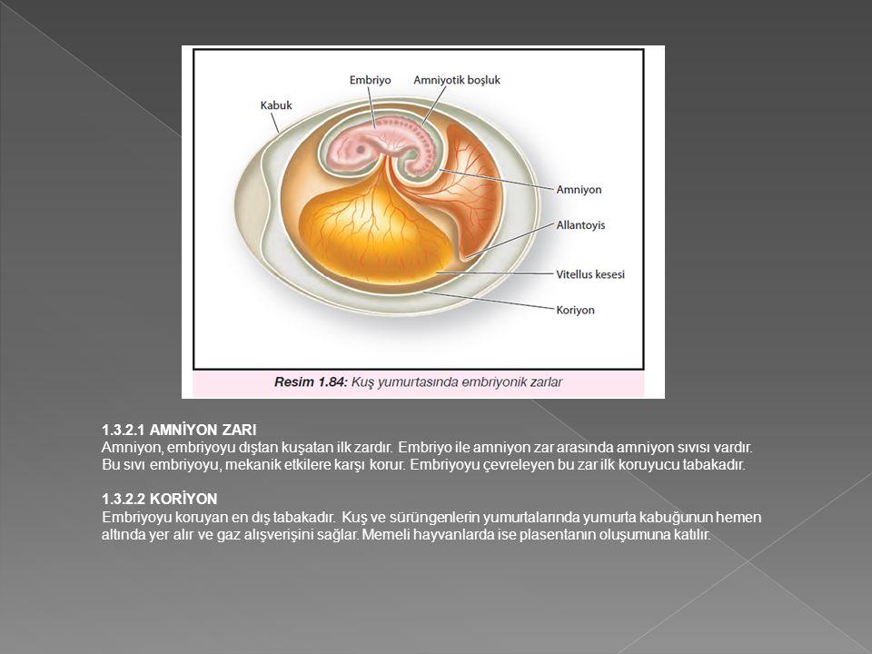 1.3.2.1 AMNİYON ZARI Amniyon, embriyoyu dıştan kuşatan ilk zardır. Embriyo ile amniyon zar arasında amniyon sıvısı vardır.