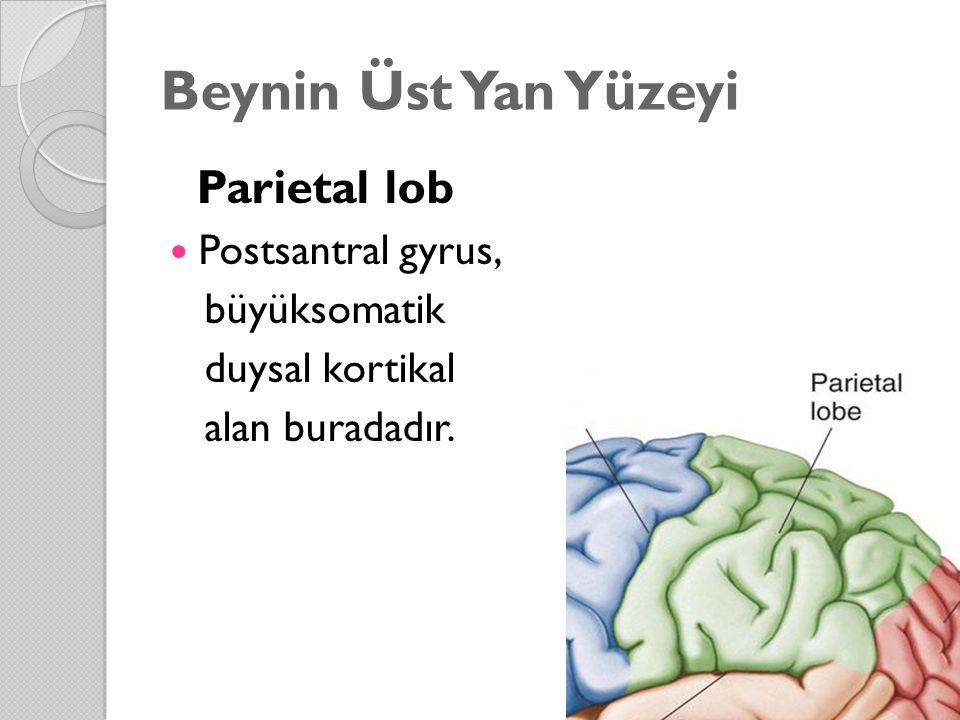 Beynin Üst Yan Yüzeyi Parietal lob Postsantral gyrus, büyüksomatik