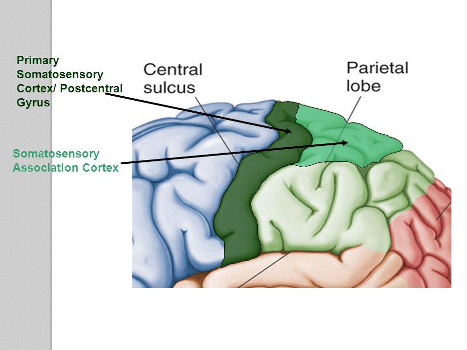 Primary Somatosensory Cortex/ Postcentral Gyrus