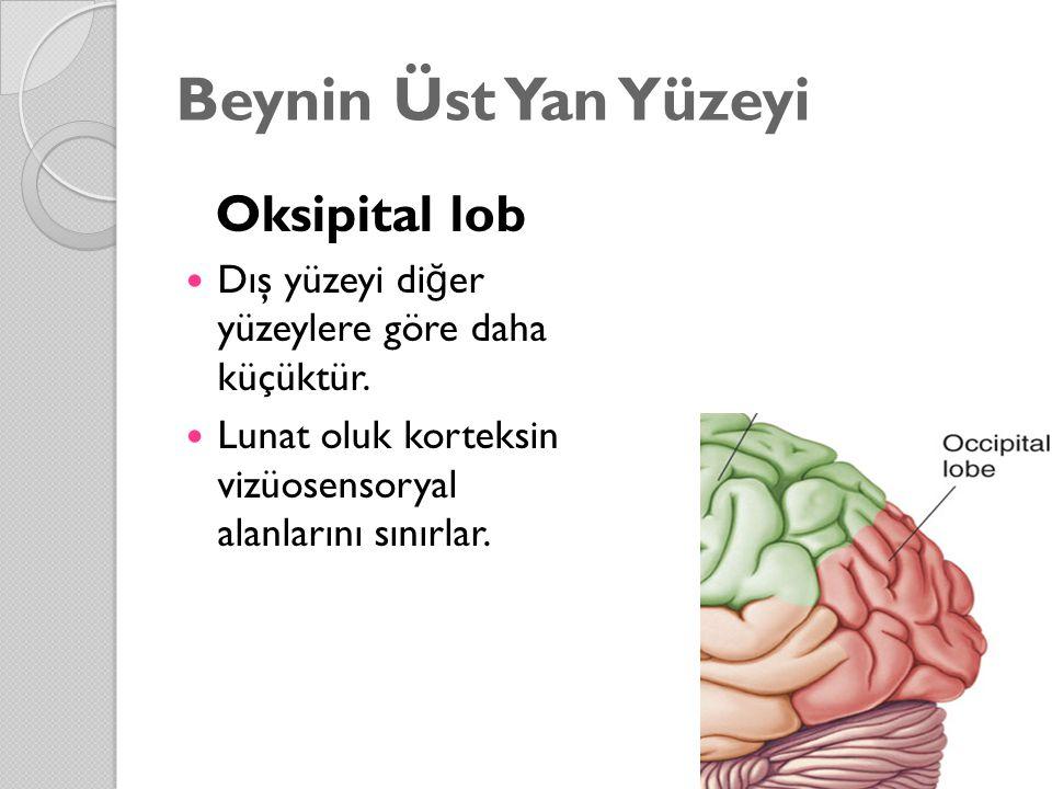 Beynin Üst Yan Yüzeyi Oksipital lob