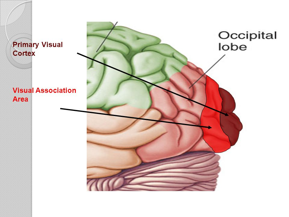 Primary Visual Cortex Visual Association Area