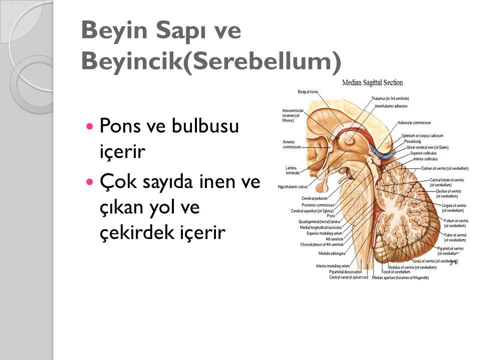 Beyin Sapı ve Beyincik(Serebellum)