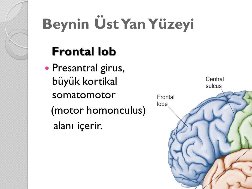 Beynin Üst Yan Yüzeyi Frontal lob