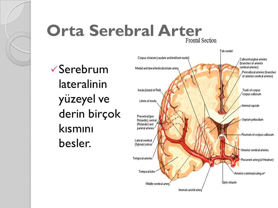 Orta Serebral Arter Serebrum lateralinin yüzeyel ve derin birçok kısmını besler.