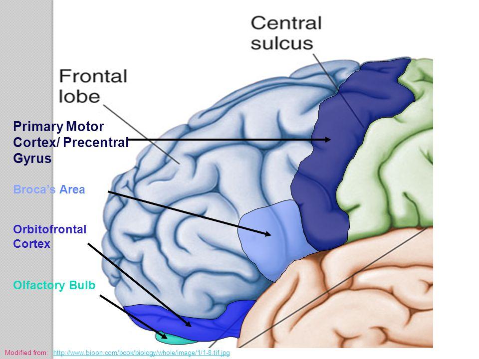 Primary Motor Cortex/ Precentral Gyrus