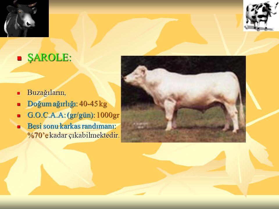ŞAROLE: Buzağıların, Doğum ağırlığı: 40-45 kg