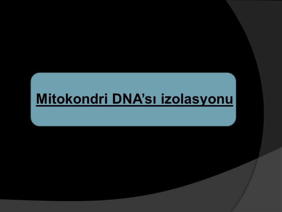 Mitokondri DNA'sı izolasyonu