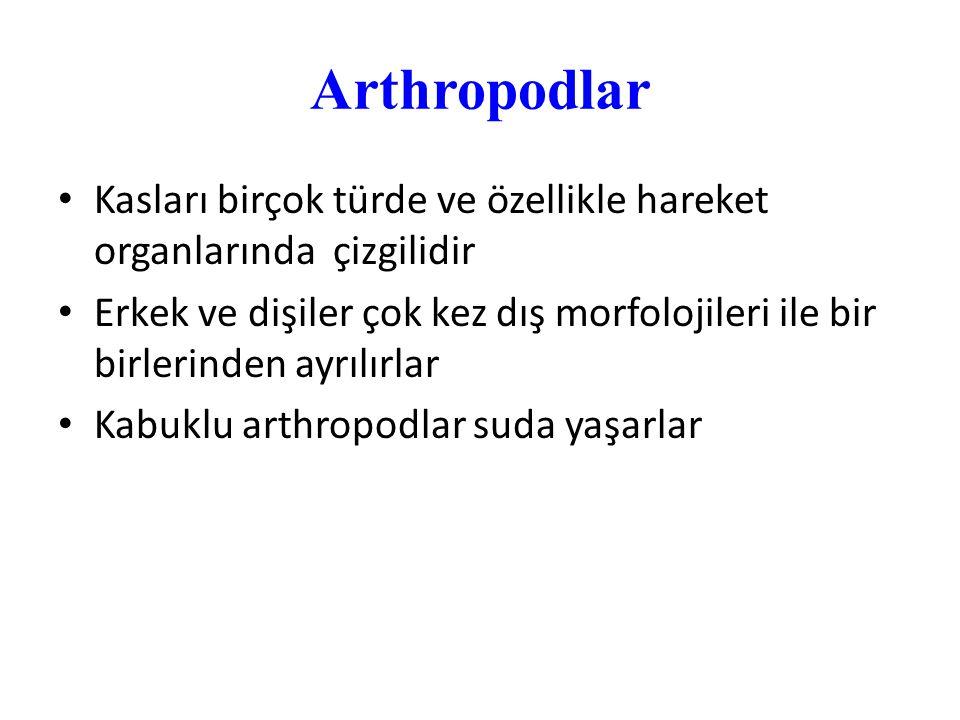 Arthropodlar Kasları birçok türde ve özellikle hareket organlarında çizgilidir.