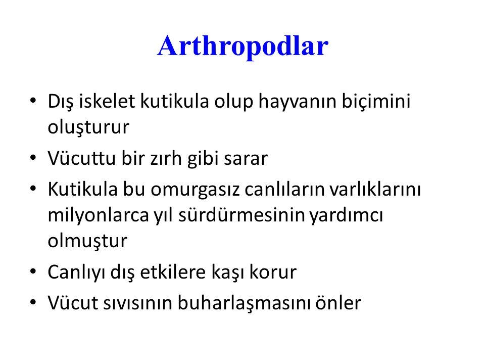 Arthropodlar Dış iskelet kutikula olup hayvanın biçimini oluşturur