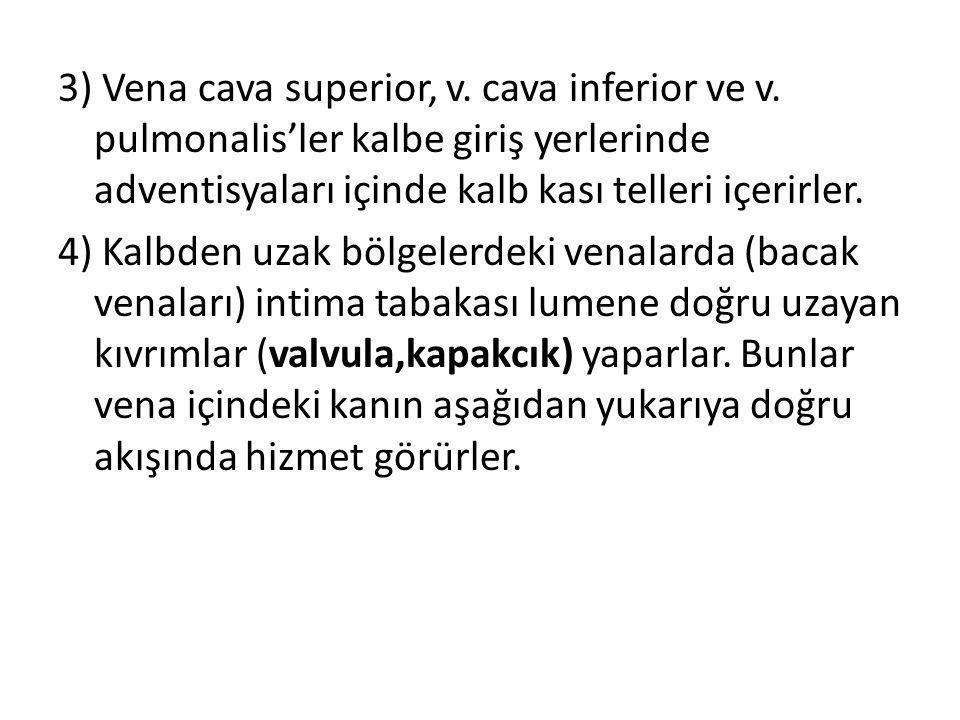 3) Vena cava superior, v. cava inferior ve v