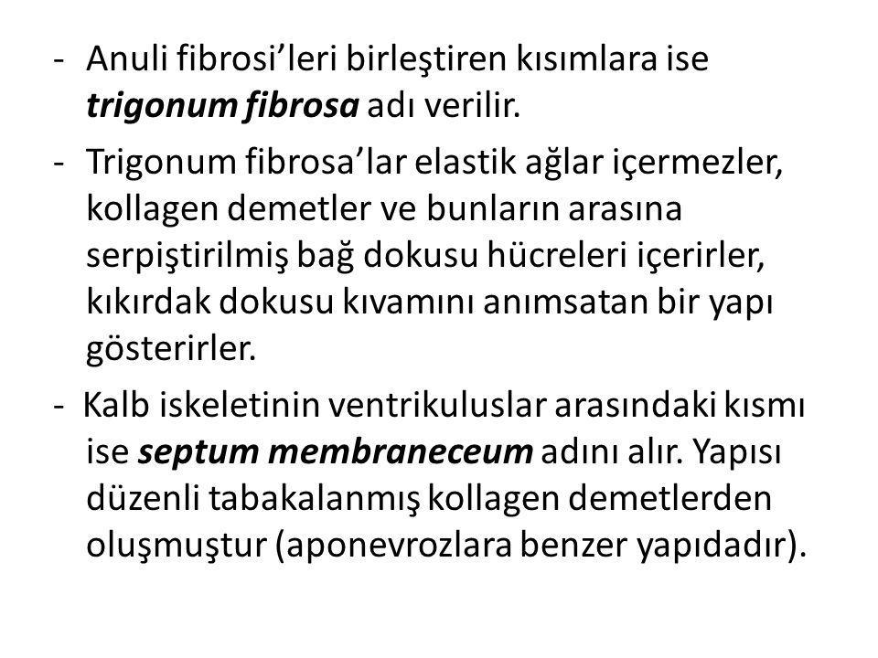 Anuli fibrosi'leri birleştiren kısımlara ise trigonum fibrosa adı verilir.