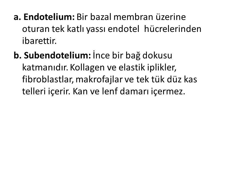a. Endotelium: Bir bazal membran üzerine oturan tek katlı yassı endotel hücrelerinden ibarettir.