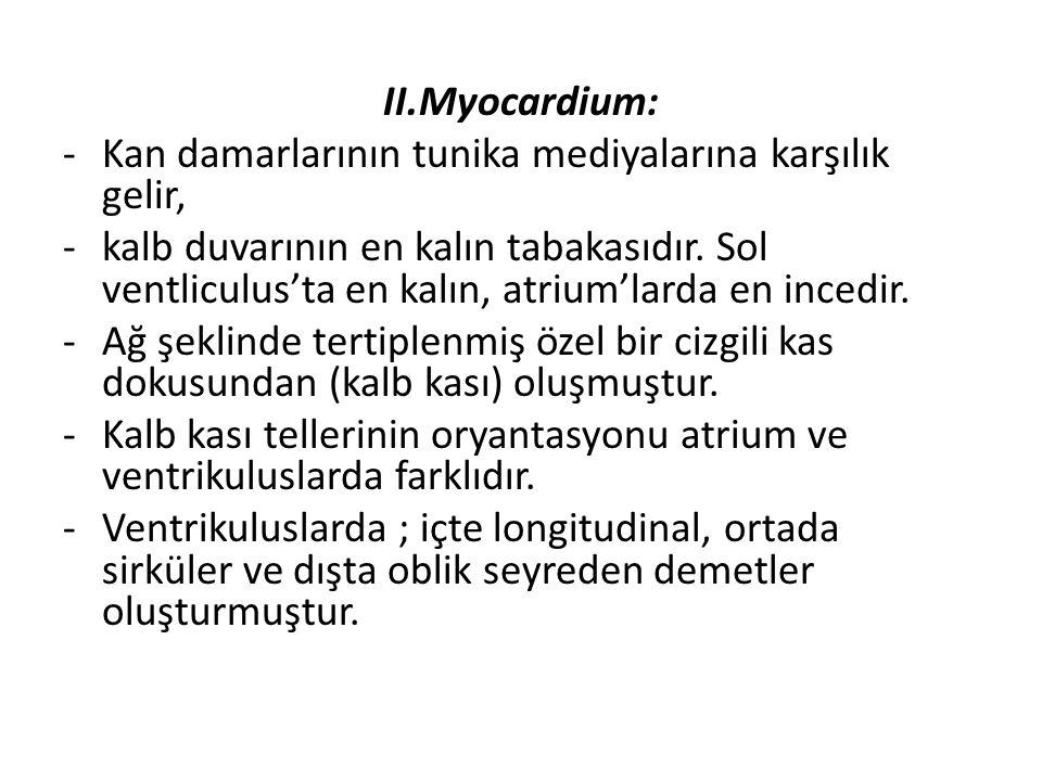 II.Myocardium: Kan damarlarının tunika mediyalarına karşılık gelir,