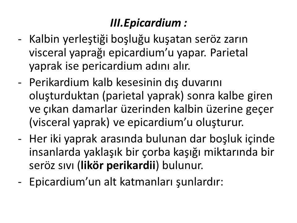 III.Epicardium : Kalbin yerleştiği boşluğu kuşatan seröz zarın visceral yaprağı epicardium'u yapar. Parietal yaprak ise pericardium adını alır.