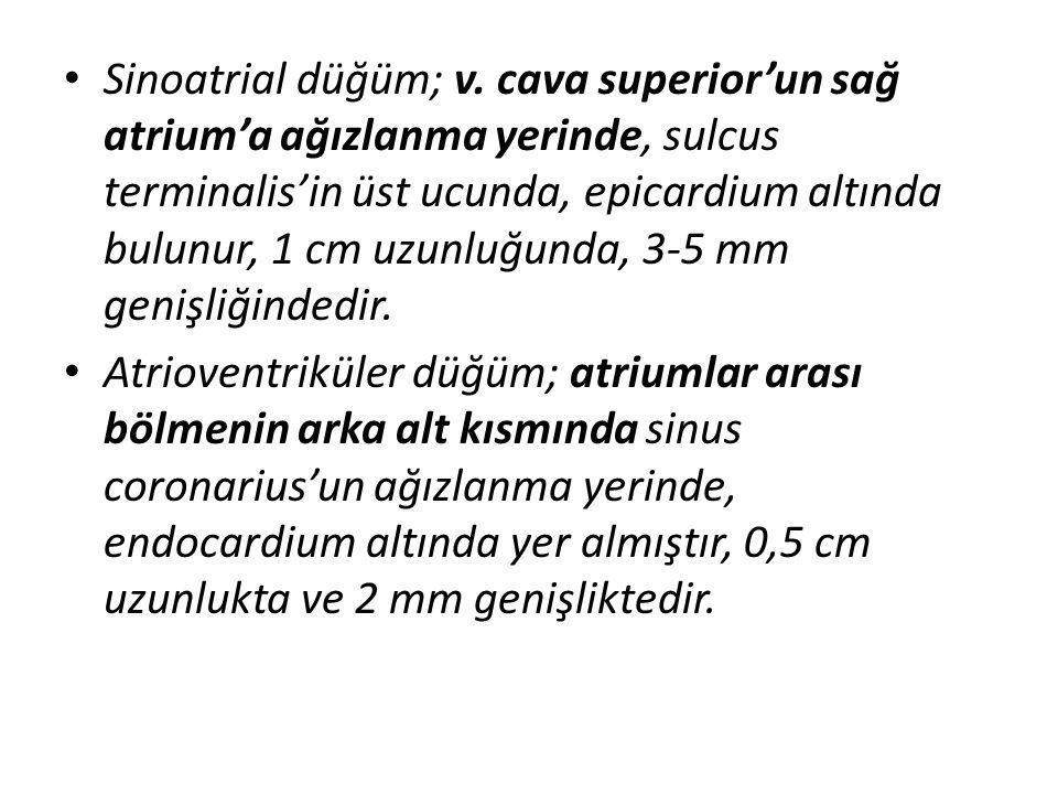 Sinoatrial düğüm; v. cava superior'un sağ atrium'a ağızlanma yerinde, sulcus terminalis'in üst ucunda, epicardium altında bulunur, 1 cm uzunluğunda, 3-5 mm genişliğindedir.