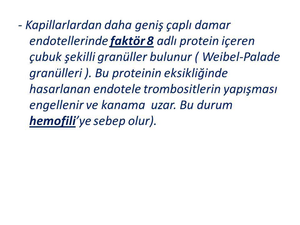 - Kapillarlardan daha geniş çaplı damar endotellerinde faktör 8 adlı protein içeren çubuk şekilli granüller bulunur ( Weibel-Palade granülleri ).