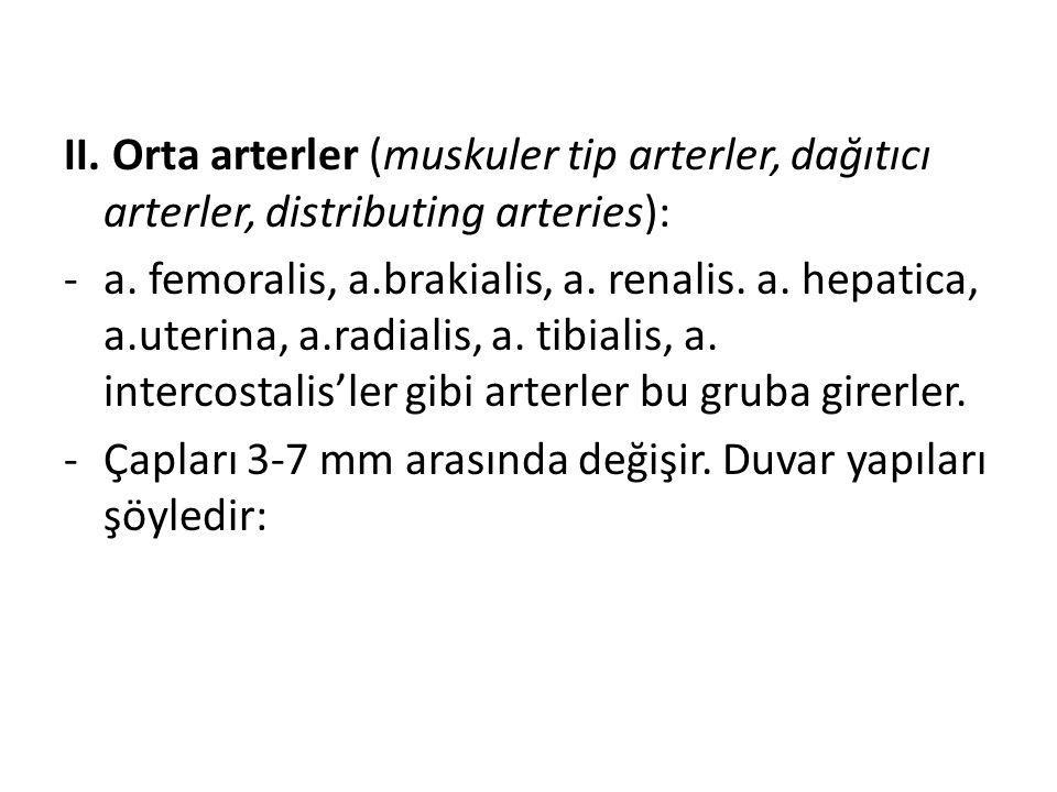 II. Orta arterler (muskuler tip arterler, dağıtıcı arterler, distributing arteries):