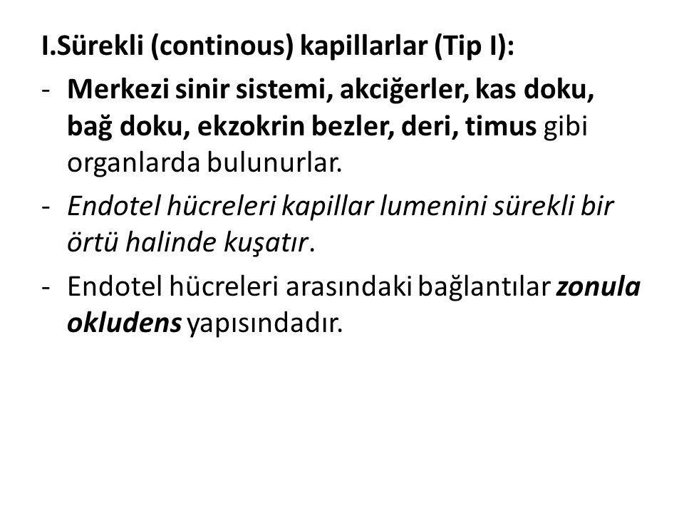 I.Sürekli (continous) kapillarlar (Tip I):
