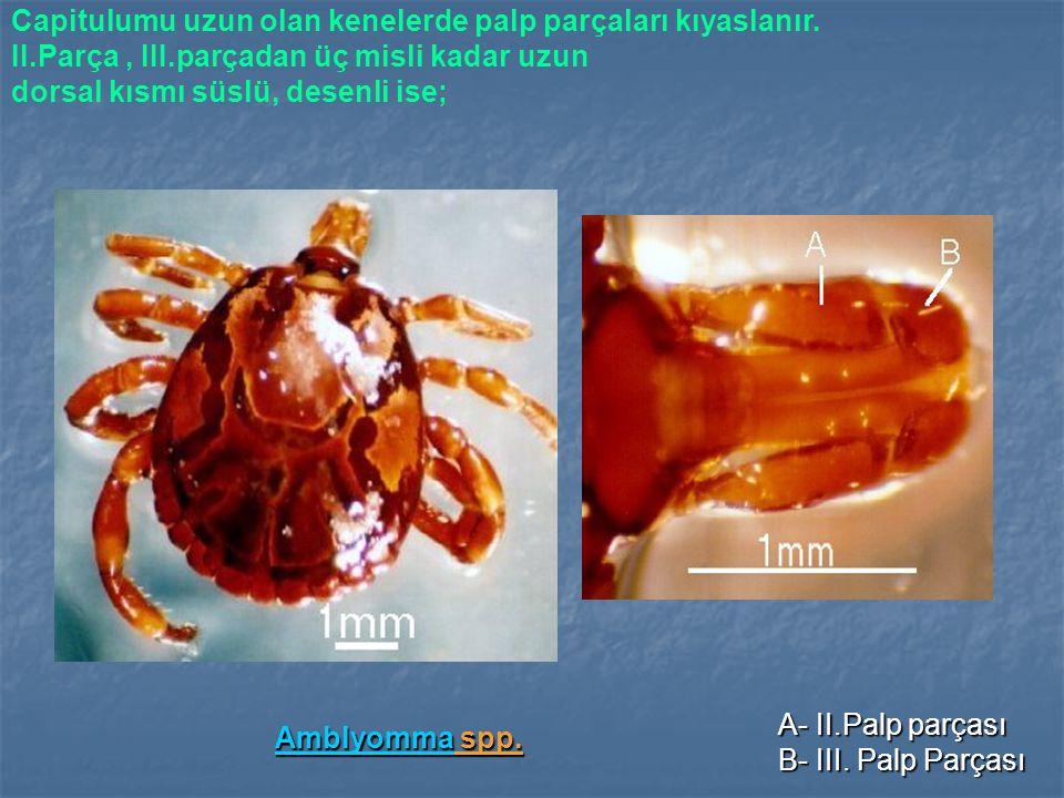 Amblyomma spp. Capitulumu uzun olan kenelerde palp parçaları kıyaslanır. II.Parça , III.parçadan üç misli kadar uzun.