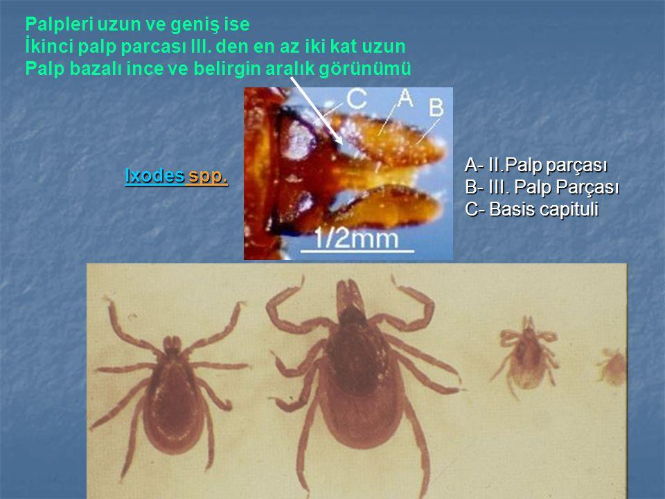Ixodes spp. A- II.Palp parçası B- III. Palp Parçası. C- Basis capituli. Palpleri uzun ve geniş ise.