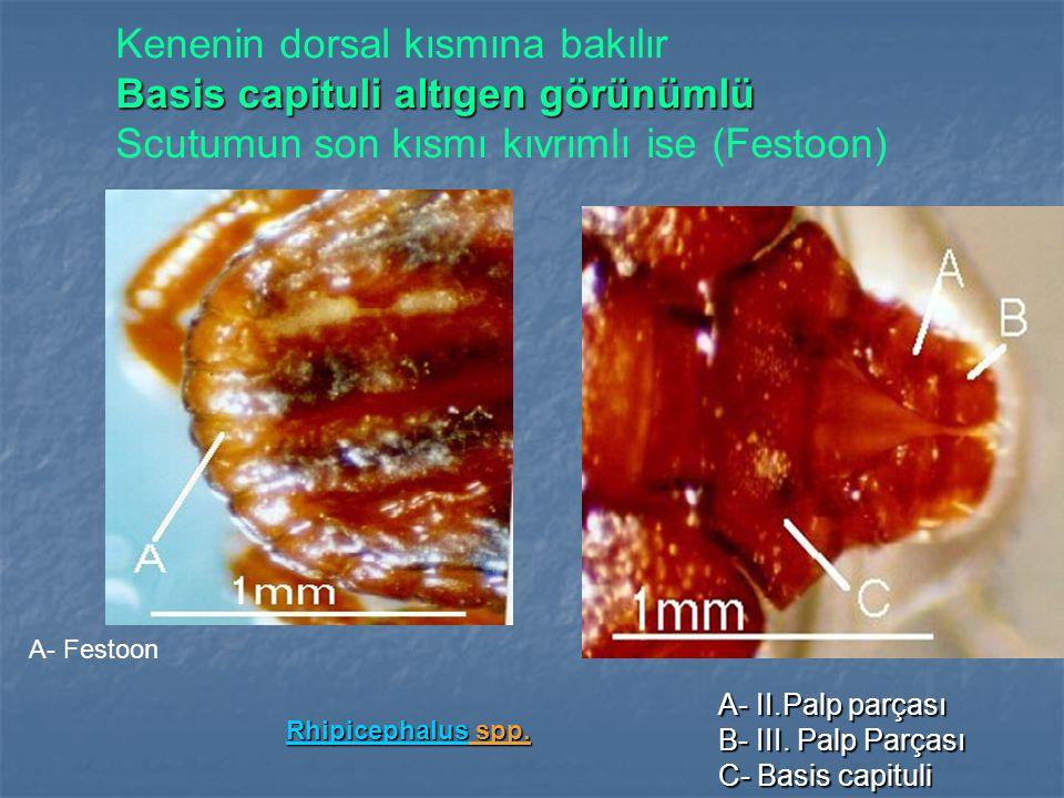 Kenenin dorsal kısmına bakılır Basis capituli altıgen görünümlü