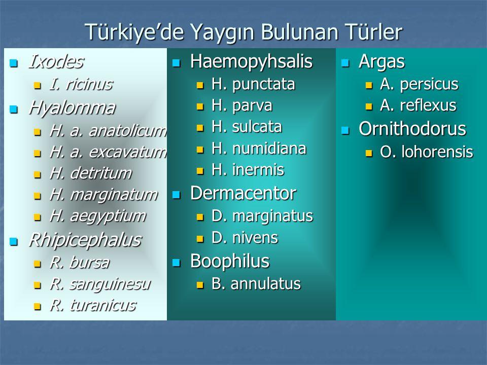 Türkiye'de Yaygın Bulunan Türler