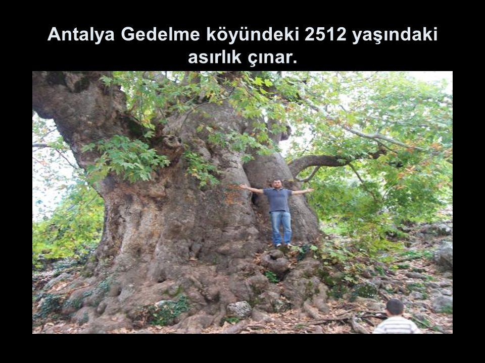 Antalya Gedelme köyündeki 2512 yaşındaki asırlık çınar.