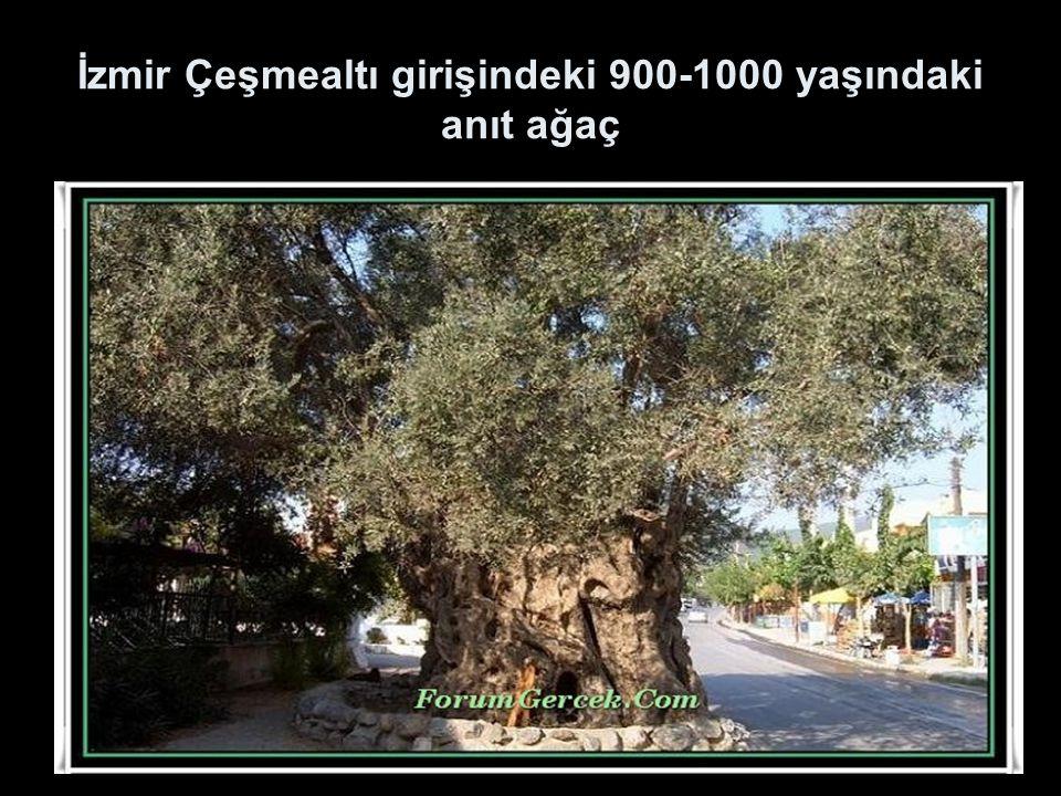 İzmir Çeşmealtı girişindeki 900-1000 yaşındaki anıt ağaç