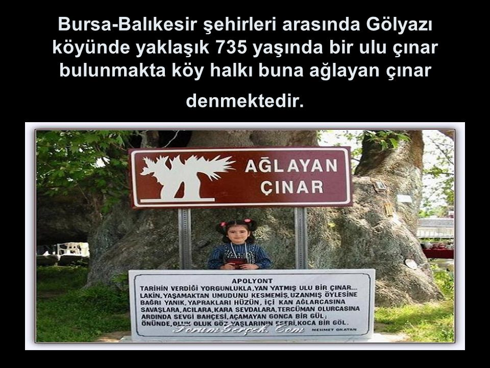 Bursa-Balıkesir şehirleri arasında Gölyazı köyünde yaklaşık 735 yaşında bir ulu çınar bulunmakta köy halkı buna ağlayan çınar denmektedir.