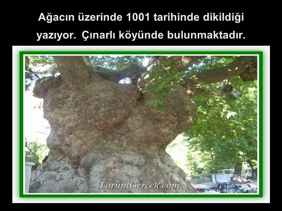 Ağacın üzerinde 1001 tarihinde dikildiği yazıyor