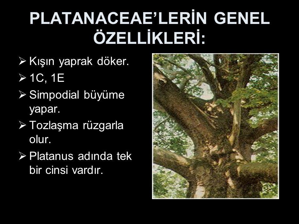 PLATANACEAE'LERİN GENEL ÖZELLİKLERİ: