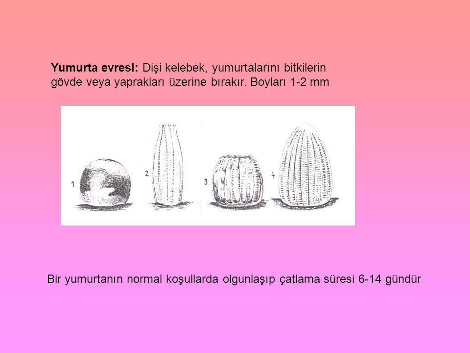 Yumurta evresi: Dişi kelebek, yumurtalarını bitkilerin gövde veya yaprakları üzerine bırakır. Boyları 1-2 mm
