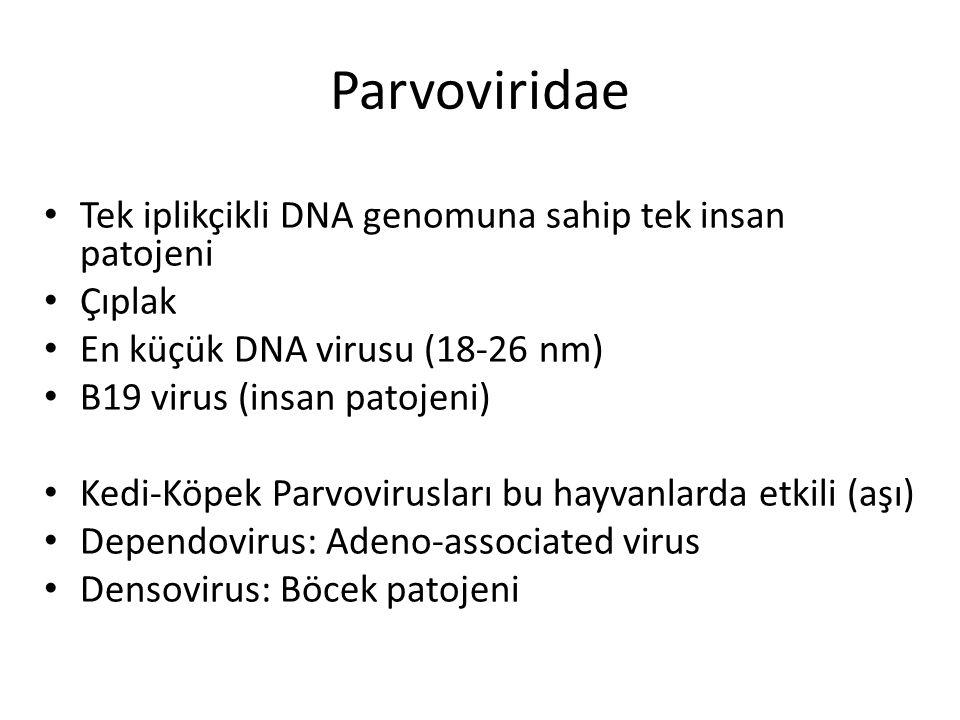 Parvoviridae Tek iplikçikli DNA genomuna sahip tek insan patojeni