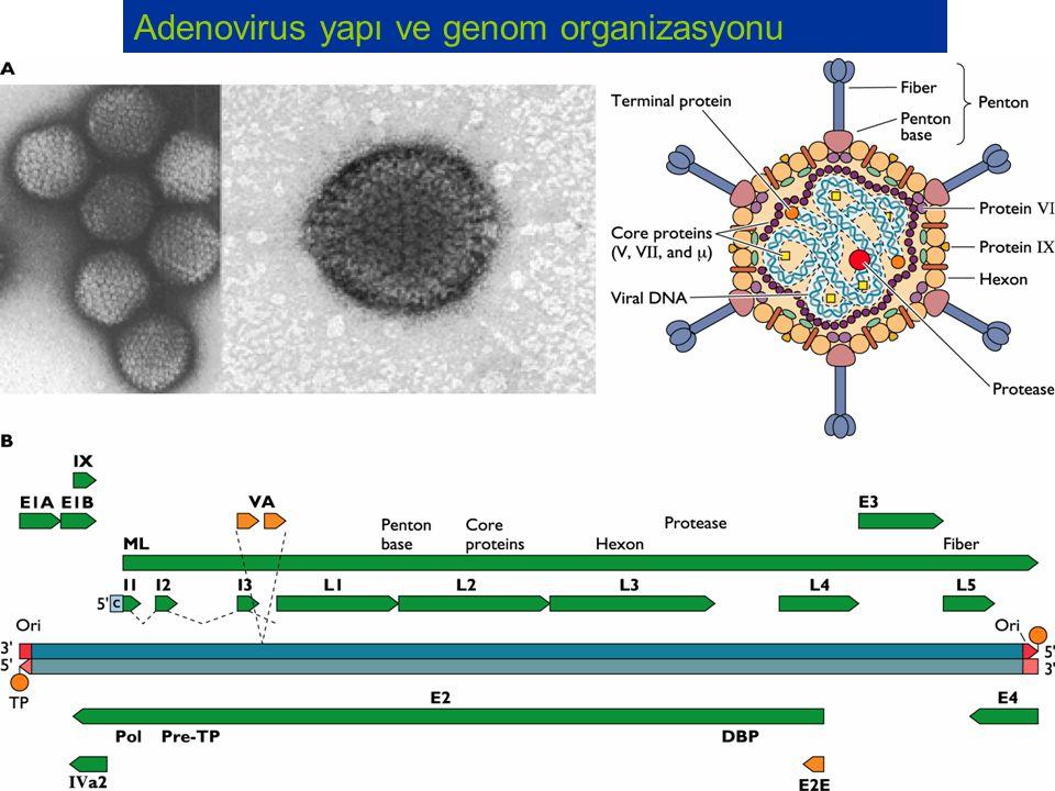 Adenovirus yapı ve genom organizasyonu
