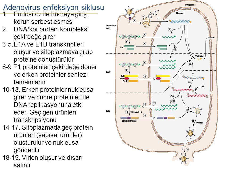 Adenovirus enfeksiyon siklusu