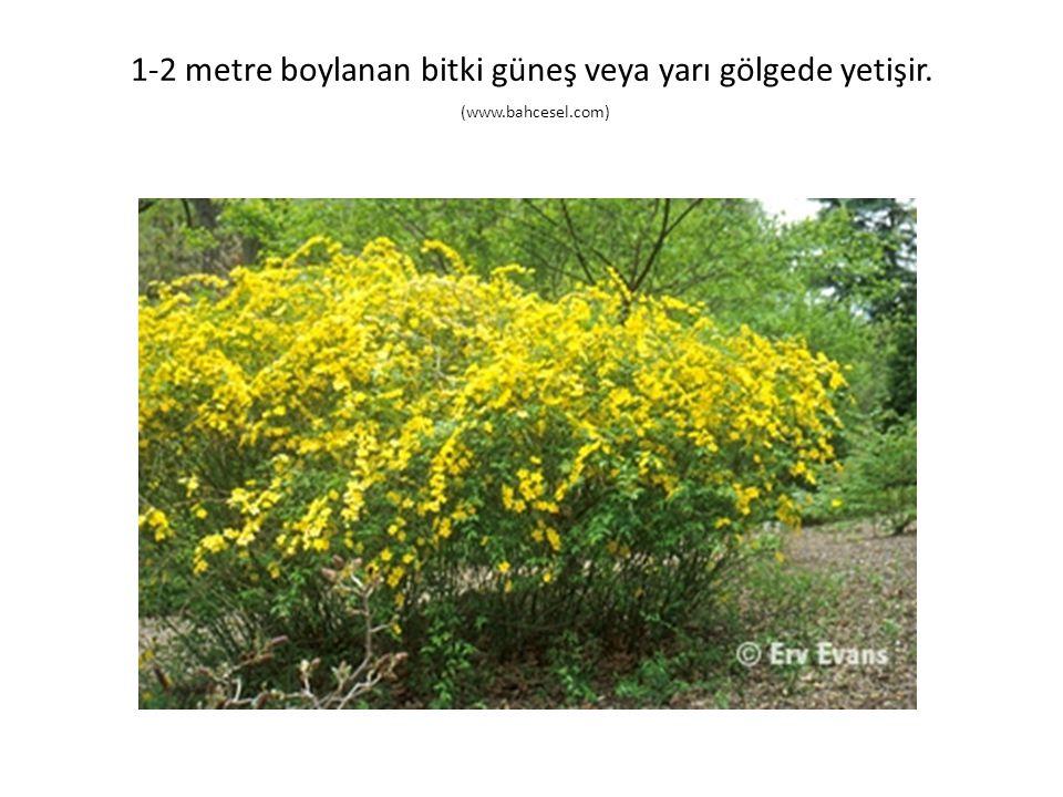 1-2 metre boylanan bitki güneş veya yarı gölgede yetişir. (www