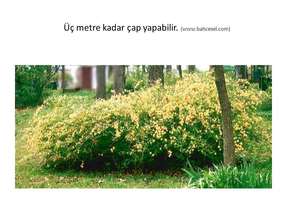 Üç metre kadar çap yapabilir. (www.bahcesel.com)