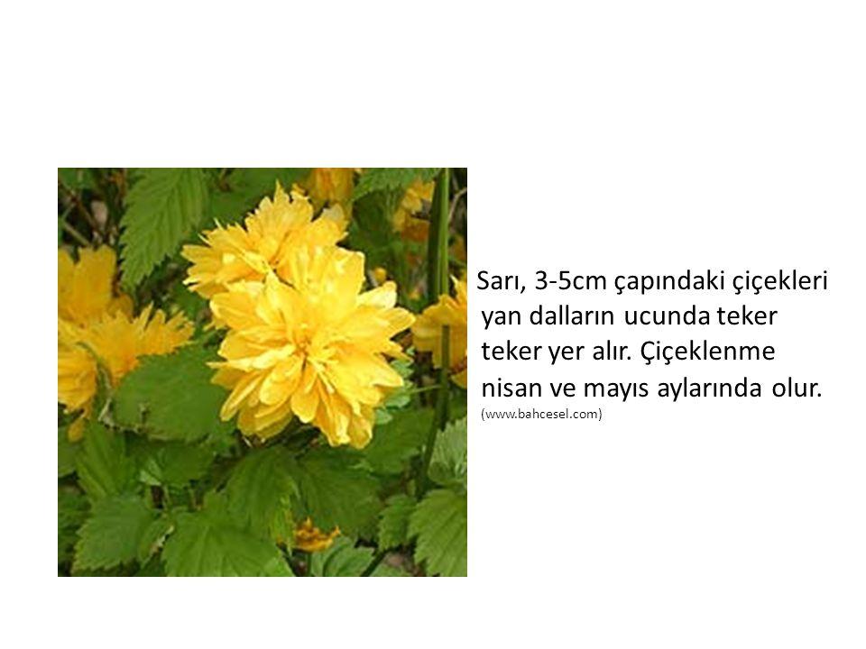 Sarı, 3-5cm çapındaki çiçekleri yan dalların ucunda teker teker yer alır.