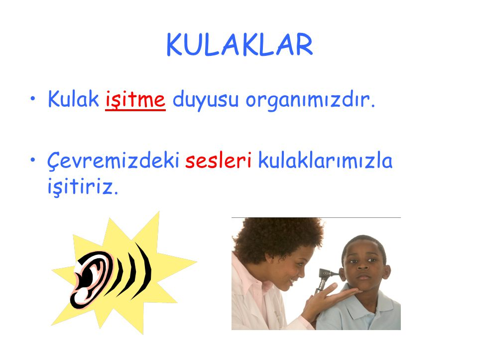 KULAKLAR Kulak işitme duyusu organımızdır.