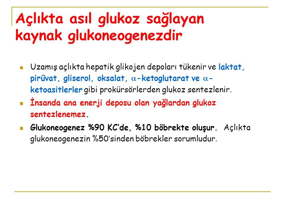 Açlıkta asıl glukoz sağlayan kaynak glukoneogenezdir