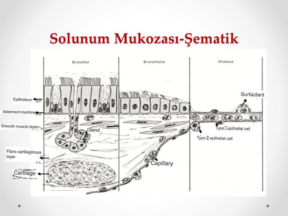 Solunum Mukozası-Şematik