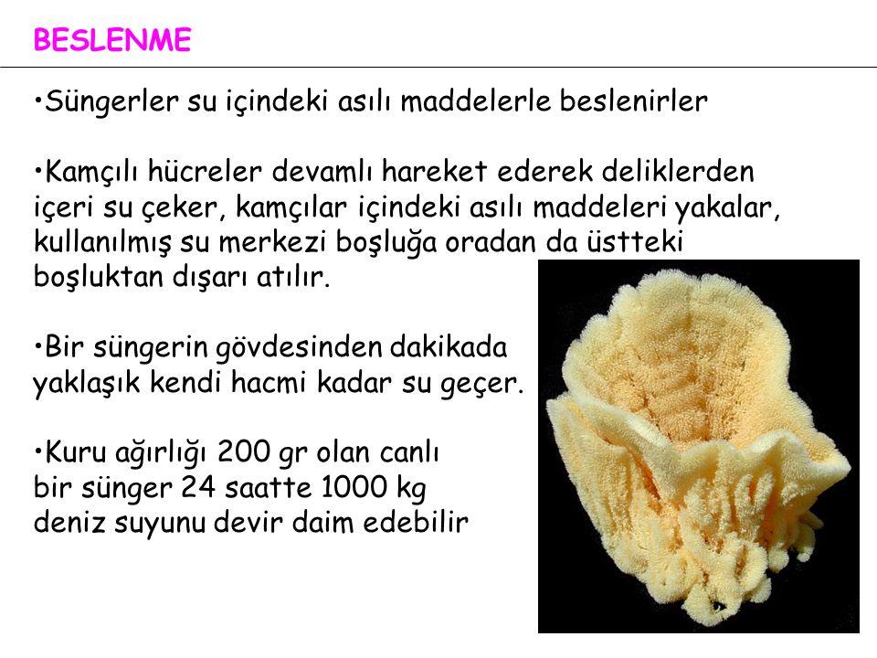 BESLENME Süngerler su içindeki asılı maddelerle beslenirler.
