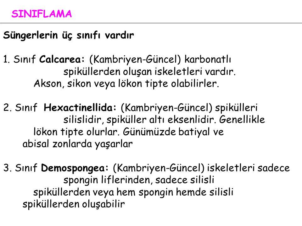 SINIFLAMA Süngerlerin üç sınıfı vardır.