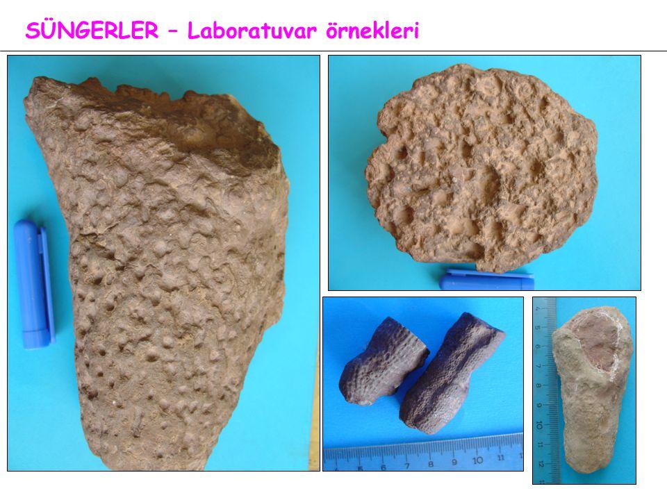 SÜNGERLER – Laboratuvar örnekleri