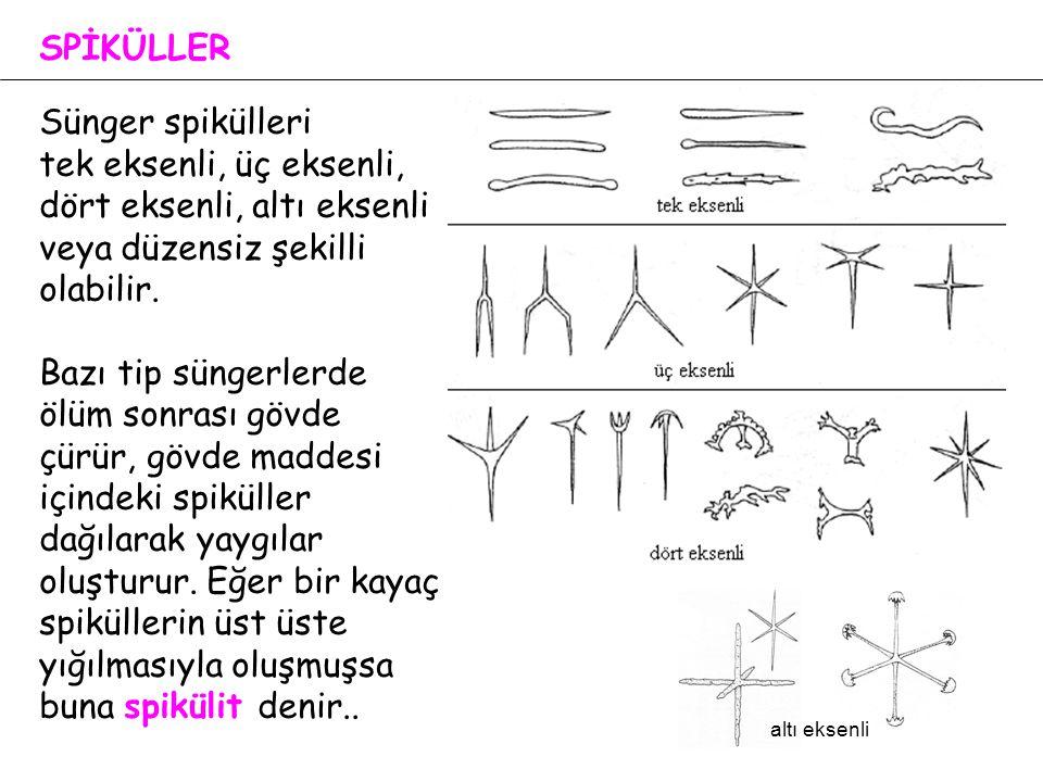 SPİKÜLLER Sünger spikülleri