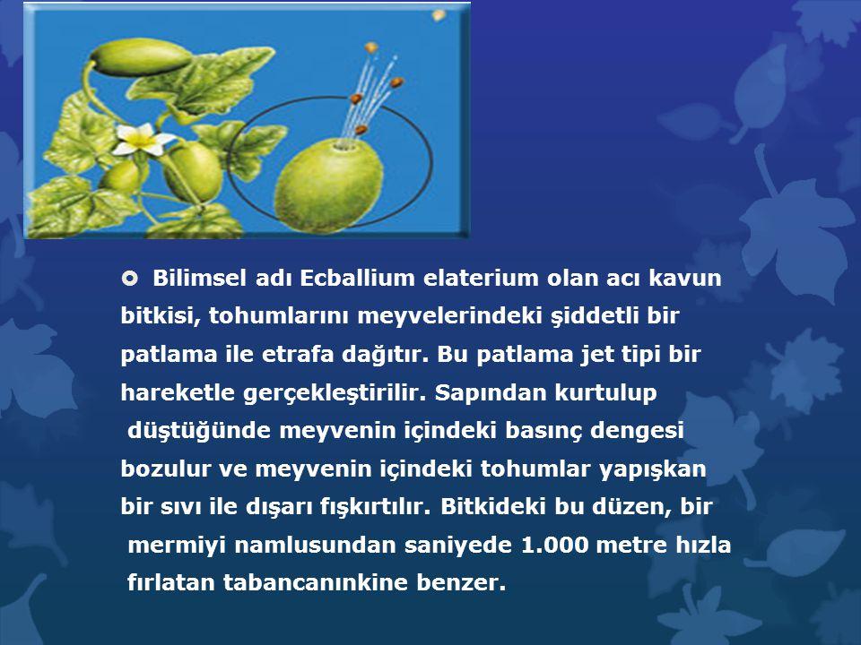 Bilimsel adı Ecballium elaterium olan acı kavun