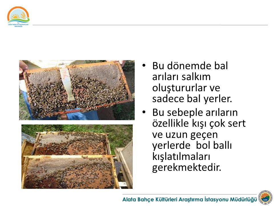 Bu dönemde bal arıları salkım oluştururlar ve sadece bal yerler.