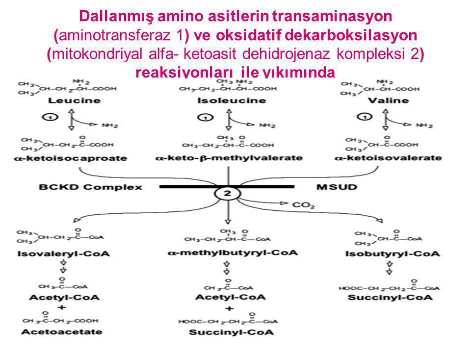 Dallanmış amino asitlerin transaminasyon (aminotransferaz 1) ve oksidatif dekarboksilasyon (mitokondriyal alfa- ketoasit dehidrojenaz kompleksi 2) reaksiyonları ile yıkımında